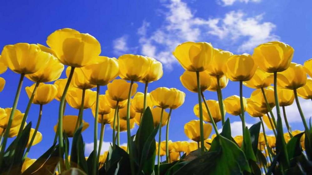 Zdjęcie żółtych tulipanów