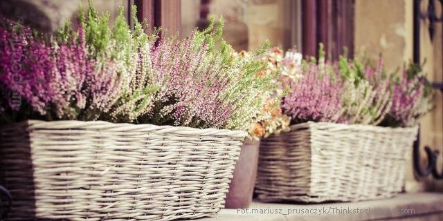 wiklinowe donice z wrzosem fioletowym i zielonym