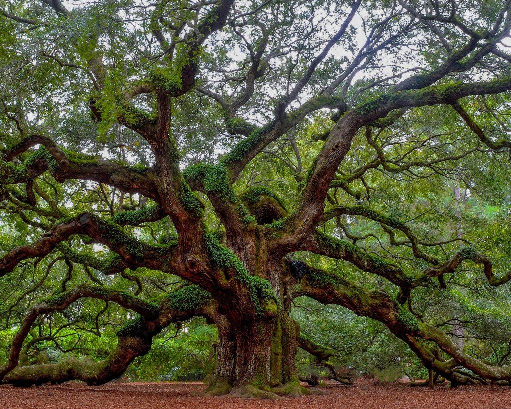 Dąb - drzewo