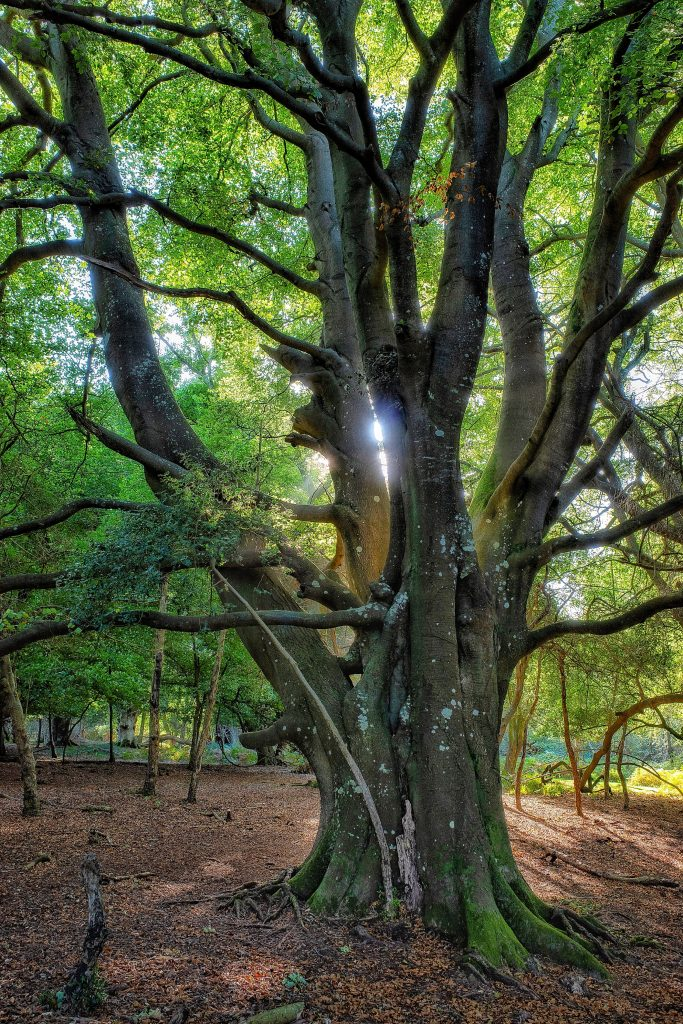 Buk - stare drzewo bukowe