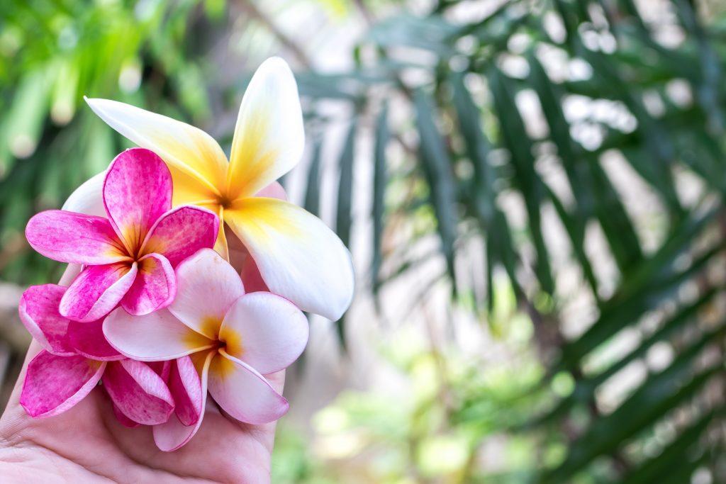 Plumeria w tropikalnym ogrodzie